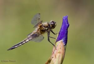 Een fotogenieke setting: de knop van een blauwe iris. - Fotograaf: Arjan Troost