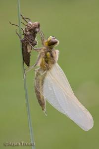 De kersverse libel is nog bezig zijn vleugels op te pompen en kan nog niet vliegen. - Fotograaf: Arjan Troost