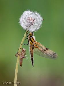 Op allerlei planten kun je uitsluipende libellen vinden.  - Fotograaf: Arjan Troost