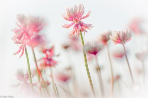Artistieke benadering: witte klaverbloemen, vanuit een laag standpunt. Rood extra aangezet in Lightroom.  - Fotograaf: Ron Poot