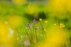 Echte koekoeksbloem in een fleurige voorjaarsweide. - Fotograaf: Ron Poot