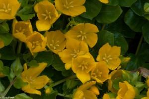 In juni kan penningkruid uitbundig bloeien. - Fotograaf: Ron Poot