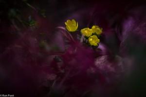 Bloemen van penningkruid gefotografeerd door het rode blad van robertskruid. - Fotograaf: Ron Poot