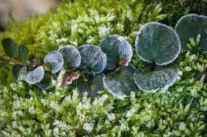 Ook in de winter kun je plezier hebben van penningkruid. - Fotograaf: Ron Poot