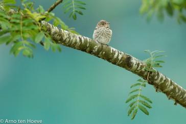 Grauwe vliegenvanger; Spotted Flycatcher; Muscicapa striata