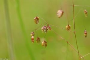 Een prachtig gevormd grasje: bevertjes, een bijzondere soort van kalkgraslanden. - Fotograaf: Ron Poot