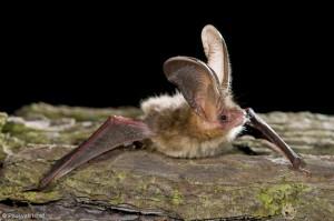 Zijn naam doet hem volledig recht aan, met oren die wel 75% van de lichaamslengte bedragen.  - Fotograaf: Paul van Hoof