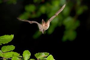 Het zomerverblijf van de grootoorvleermuis bevindt zich in boomholten, op zolders en bij uitzondering in vogelhuisjes en vleermuiskasten. - Fotograaf: Paul van Hoof