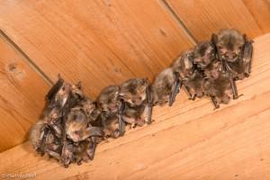 In de kolonie, hier op een kerkzolder, zitten de vleermuizen graag dicht tegen elkaar aan. Lekker warm.  - Fotograaf: Paul van Hoof
