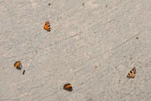 Onder de hangplek van grootoorvleermuizen zijn vaak keutels en afgebeten vlindervleugels te vinden. - Fotograaf: Paul van Hoof