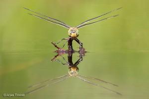 Frontaal aanzicht vrouwtje grote keizerlibel tijdens het afzetten van de eitjes.
