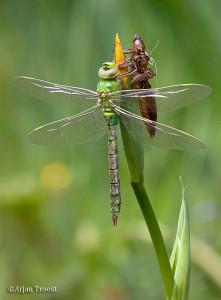 Vers uitgeslopen grote keizerlibel droogt de vleugels.