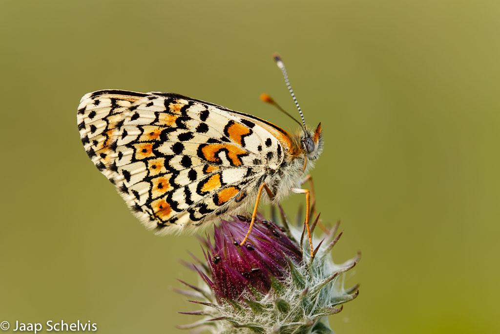 Fotografeer deze week eens….vlinders