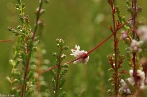 Een enkel bloemhoofdje, dat lijkt te balanceren op een stengeldraad.