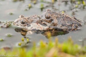 Paartje knoflookpadden copulerend in een ondiepe waterpoel.