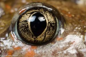 Het oog van een knoflookpad.