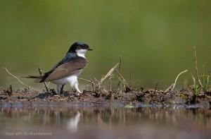 Huiszwaluw bij een modderpoeltje - Fotograaf: Els Branderhorst.