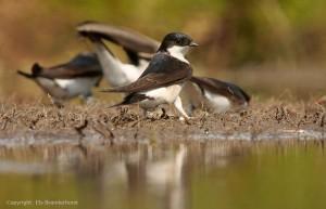 Huiszwaluwen bij een modderpoeltje - Fotograaf: Els Branderhorst