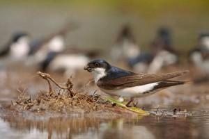 Huiszwaluw bij een modderpoeltje - Fotograaf: Els Branderhorst