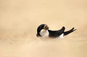 Huiszwaluw verzamelt modder op een strandje voor de nestbouw. - Fotograaf: Els Branderhorst.