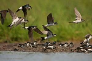 Huiszwaluwen bij een modderpoeltje
