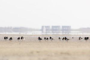 Scholeksters op het wad. De sluizen van Lauwersoog zweven op de achtergrond.  - Fotograaf: Ron Poot