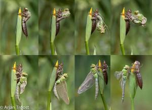 Het uitsluipen van een grote keizerlibel is een proces wat zich bij uitstek leent voor het maken van een mooie serie foto's.