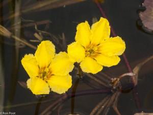 Detailopname van twee watergentiaanbloemen, van bovenaf. - Fotograaf: Ron Poot