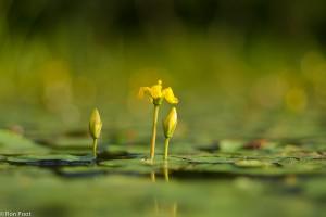 Bloem en knop van watergentiaan vanaf laag standpunt. - Fotograaf: Ron Poot