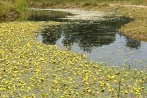 Watergentiaan kleurt het landschap, op de achtergrond met waterranonkel. - Fotograaf: Ron Poot
