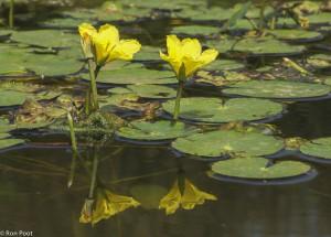 Spiegeling van watergentiaan bloemen in het water. - Fotograaf: Ron Poot