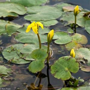 De bloemen van watergentiaan, registratiefoto vanaf hoog standpunt. - Fotograaf: Ron Poot