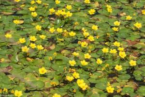 Watergentiaan van boven, het bloeit vaak in grote aantallen. - Fotograaf: Ron Poot