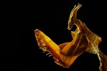 Duivelsbidsprinkhaan (Idolomantis Diabolica)