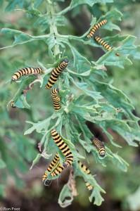 Zebrarupsen vreten de plant compleet kaal. - Fotograaf: Ron Poot