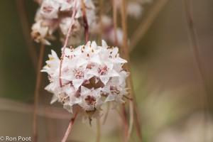 De bloemen van klein warkruid van dichtbij.