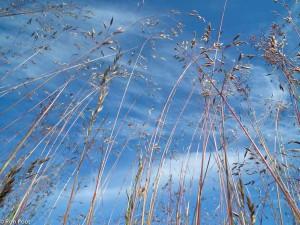 Bloeiende halmen van Bochtige smele van onderen genomen met groothoeklens. De halmen steken af tegen blauwe lucht met wolken. - Fotograaf: Ron Poot