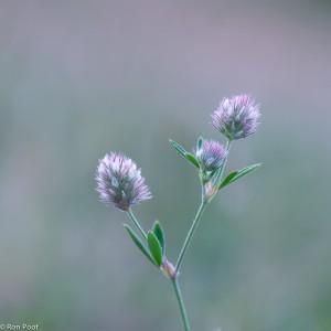 Registratiefoto. Hazenpootje in bloei, de bloemen verstopt tussen lange haren. Vanuit laag standpunt is gestreefd naar een egale vage achtergrond.
