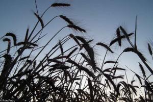 Silhouet van graanhalmen, van onderen met een groothoeklens.  - Fotograaf: Ron Poot
