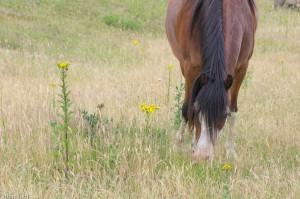 Grazende paarden mijden het giftige jakobskruiskruid. - Fotograaf: Ron Poot