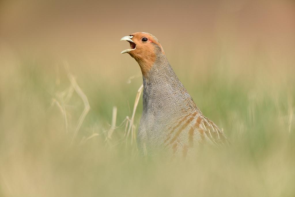 Patrijs; Grey Partridge; Perdix perdix