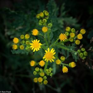 De bloemen van jakobskruiskruid komen in de zomer uit. - Fotograaf: Ron Poot