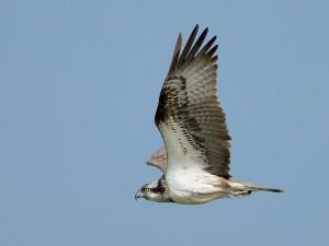 In het voorjaar hebben ze haast om in de broedgebieden te komen. Een vliegbeeld is het maximaal haalbare.  - Fotograaf: Arno ten Hoeve