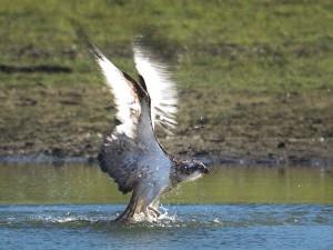 Met enorme vleugelslagen vliegt hij met de nog onbekende uit het water omhoog. Hier zie je het effect van automatisch belichten de witte vleugels zijn overbelicht. Volgende keer toch maar handmatig belichten.  - Fotograaf: Arno ten Hoeve