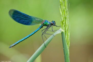 Weidebeekjuffer; Banded Demoiselle; Calopteryx splendens