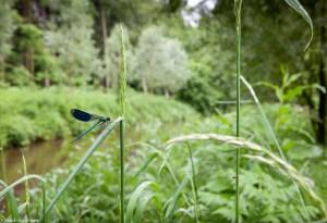 De weidebeekjuffer in natuurlijke omgeving.  - Fotograaf: Mark van Veen
