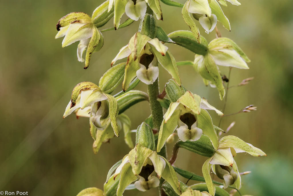 Brede wespenorchis
