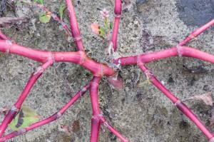 De stengels van perzikkruid, van boven gezien.  - Fotograaf: Ron Poot