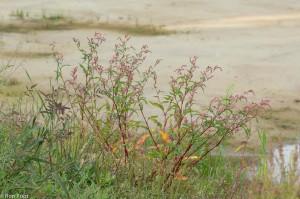 Perzikkruid langs een pas aangelegd zandig terrein. Op dit soort plaatsen verkleurt de plant het sterkst en dat kan kleurrijke beelden opleveren. - Fotograaf: Ron Poot