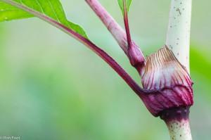 Op de knopen zit een kenmerkend 'tuitje', hier kan de plant sterk verkleuren.  - Fotograaf: Ron Poot